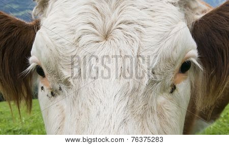 Head Of Cow With Fly