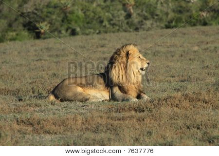 Male Lion Images Stock Photos amp Vectors  Shutterstock