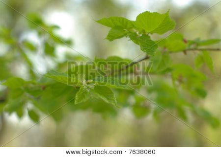 Spring nut-tree leaves with buds