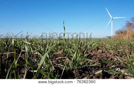 Field of winter wheat.