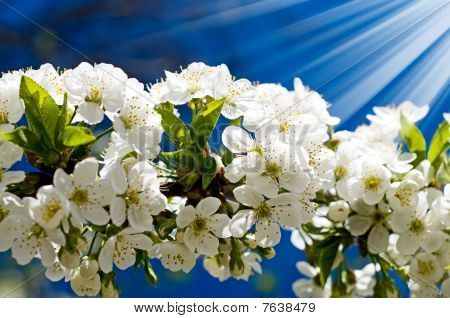 Astonishing Image Of Blooming Cherry.