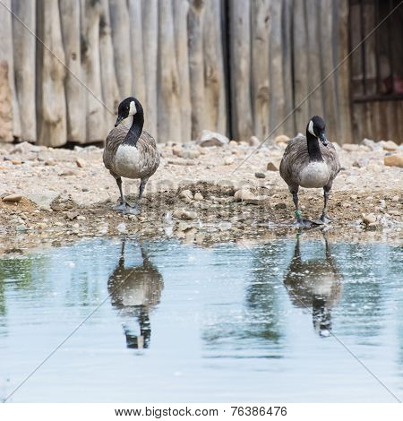 Two Geese With Reflection In Water