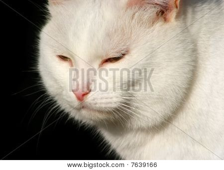 White Cat Sitting Isolated