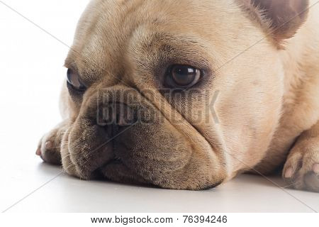 french bulldog laying down on white background