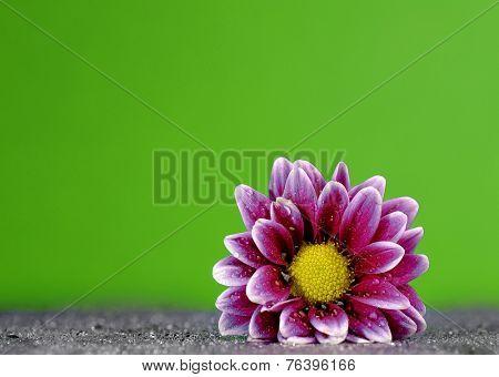 Fresh purple flower with dew drops on blue backgound
