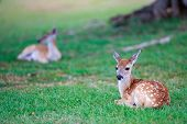 stock photo of bambi  - Little deer fawn with white spots lying on grass - JPG