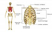 picture of vertebrate  - The rib cage is an arrangement of bones in the thorax of all vertebrates except the lamprey - JPG