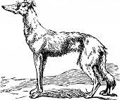 stock photo of hound dog  - Old engraving of a Saluki or Borzoi dog which are the oldest breed of hunting dogs - JPG