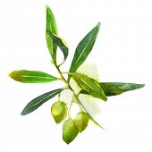 picture of olive branch  - watercolor olive branch with green olives - JPG