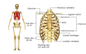 image of sternum  - The rib cage is an arrangement of bones in the thorax of all vertebrates except the lamprey - JPG