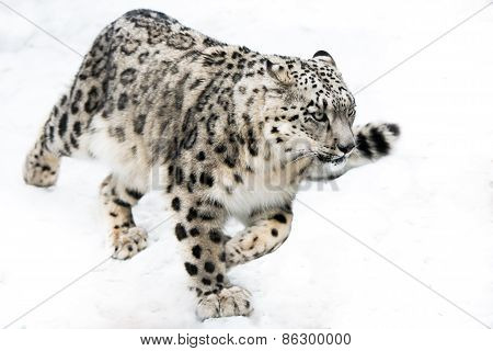 Snow Leopard On The Run