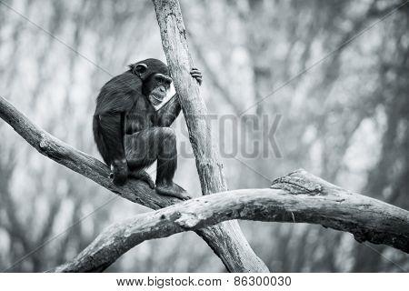 Chimpanzee IX