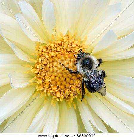 Bumblebee On Yellow Dahlia