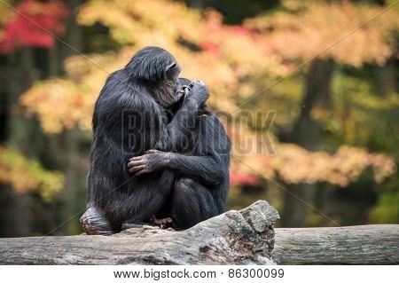 Chimpanzee Hug II