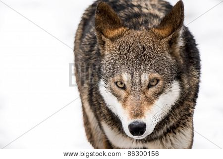 Red Wolf In Snow II