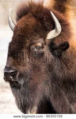 American Bison VI