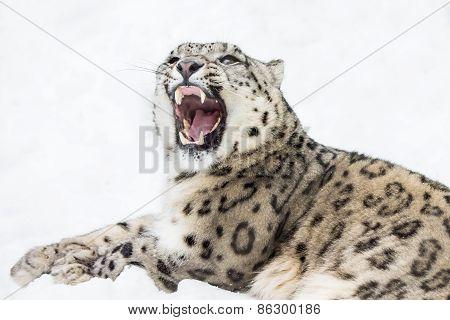 Snow Leopard XII