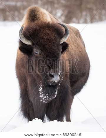 American Bison In Snow Iii