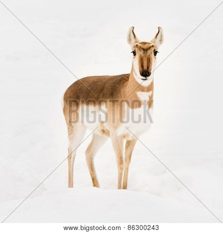 Pronghorn In Snow VI