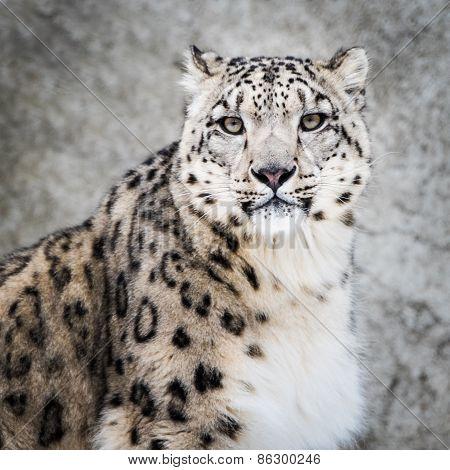 Snow Leopard XIV