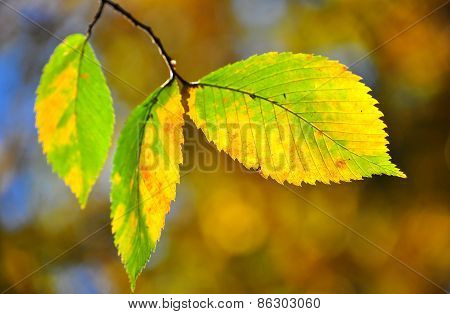 Autumn Leaves On The Branches.