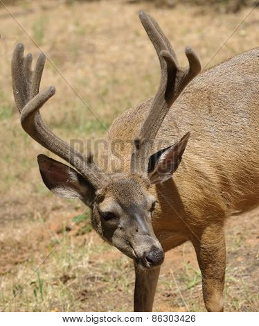 closeup of a Californian Black-tailed buck with a fly on its face