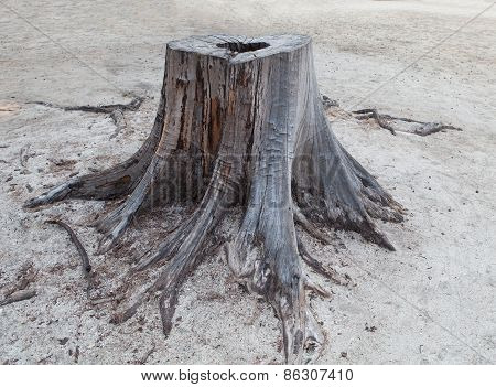 Cutting Died Of Pine Tree Stump  On Sand Beach