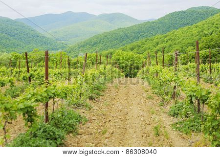 Landscape With Green Vineyard's Rows