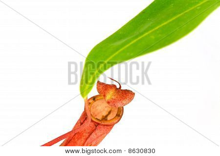 Nepenthes Alata, a carnivorous Plant,with green leaf,isolated on white.