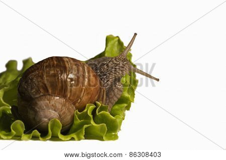 Helix pomatia, Burgundy snail eating salad, photo studio