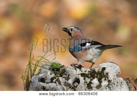 eurasian jay standing on a stone, Vosges, France