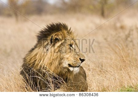 wild male lion in the bush, Kruger, South Africa