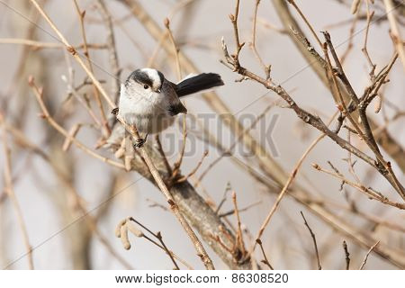 long tailed tit, Vosges, France