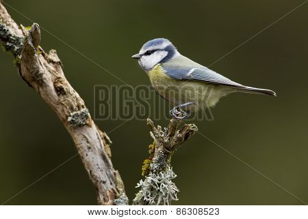 blue tit perched on a dead branch, Vosges, France