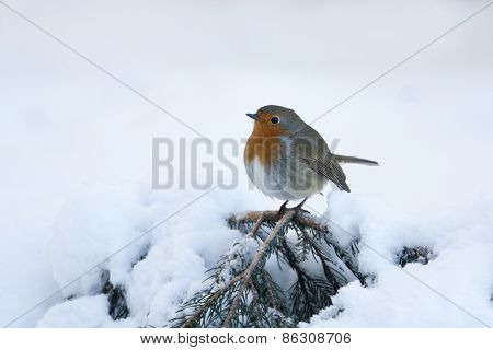 european robin standing on a snowy branch, Vosges, France