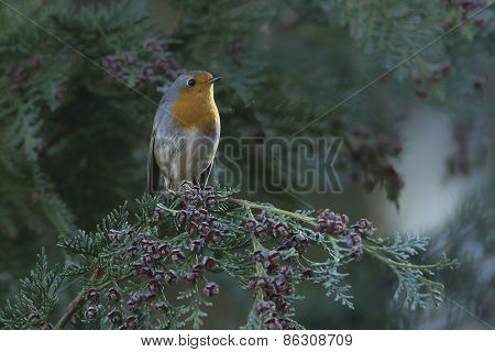 european robin perched on a tree, Vosges, France