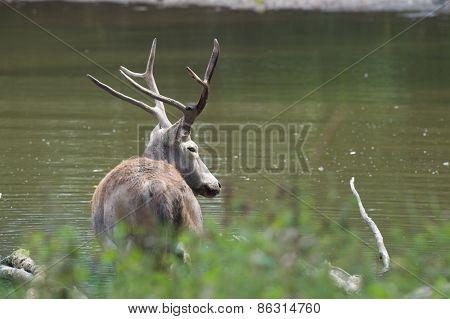 male elaphure deer in water