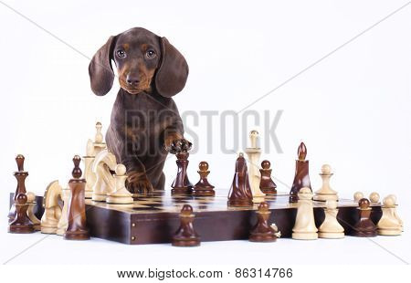 Dachshund and chess