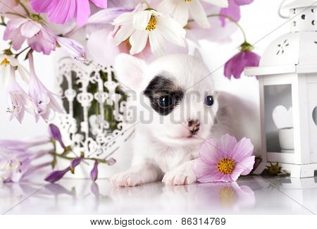 Chihuahua hua puppy and  flowers