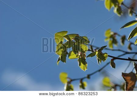 Lime tree foliage in spring