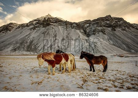A herd of free-roaming Icelandic horses in the wintertime.