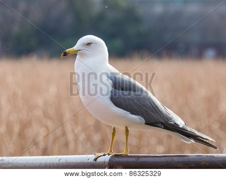 Beautiful White Gull With Gray Wings