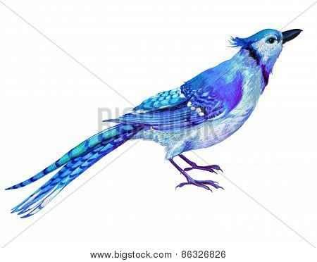 blue jay illustration in watercolor.