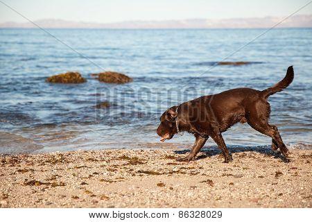 Cute Dog Walking On The Beach