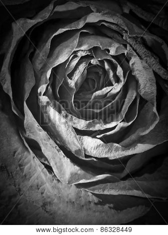 Black rose closeup background.