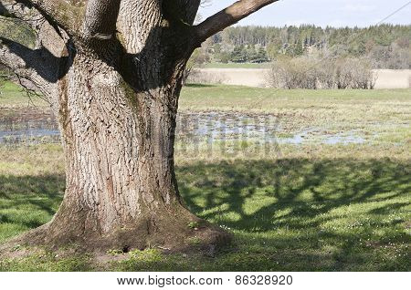Old and grand oak tree in front of a wetland.