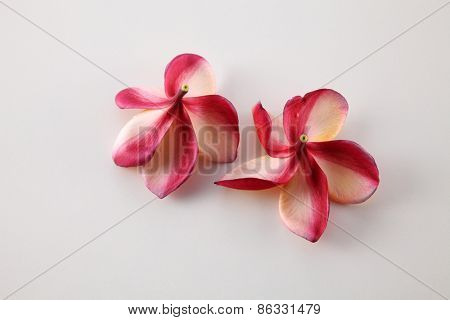 back view of the frangipani