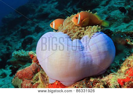Maldives Anemonefish in Anemone