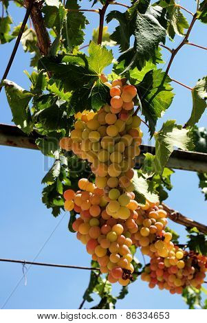 Ripe bunches of grapes on the vine.