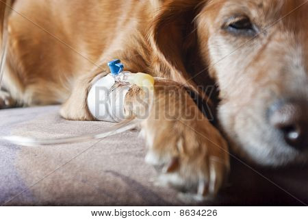 Sick Dog Lying On Bed With Cannula In Vein Taking Infusion